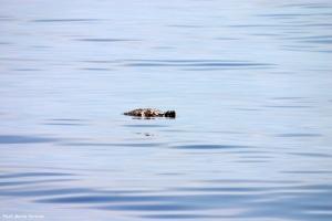 Loggerhead turtle basking.
